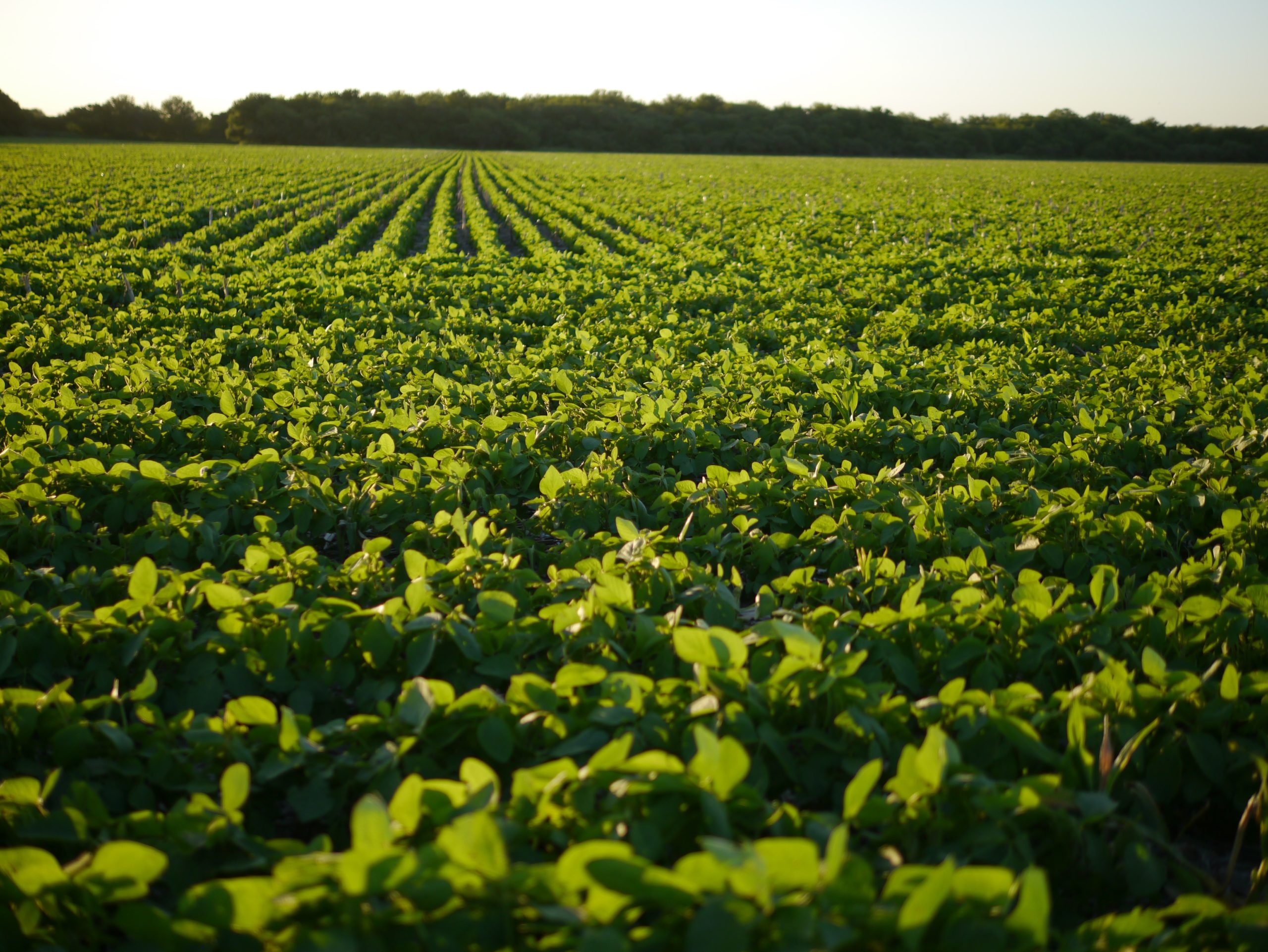 Read more about the article Kræft får ikke landbruget til at droppe sprøjtet soja