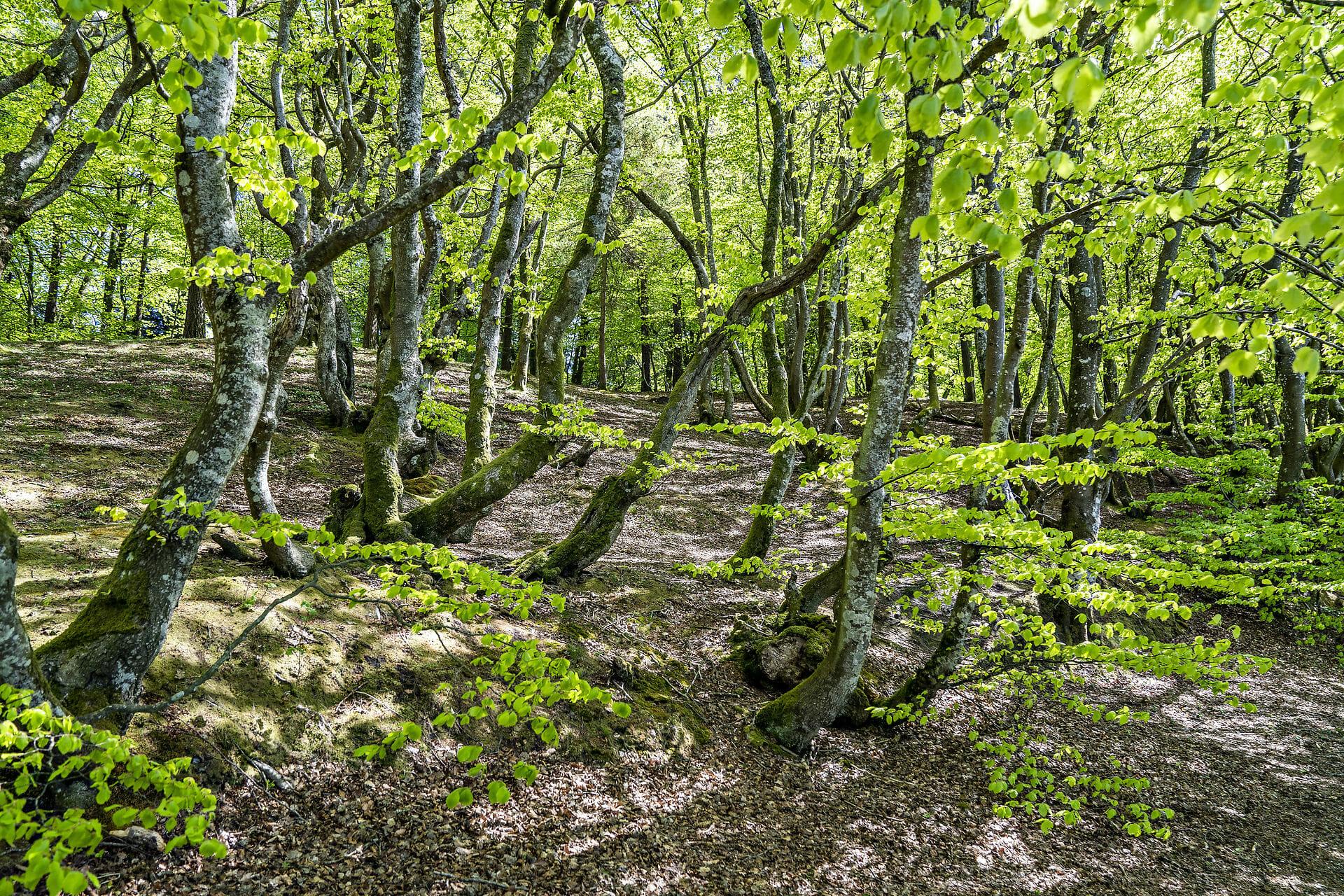 Read more about the article FAKTA: Skoven er en effektiv CO2-støvsuger