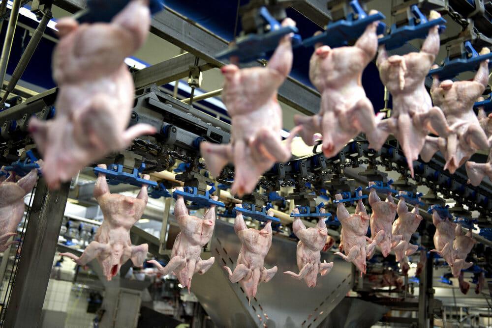 Danmarks største kyllingeproducent dropper turbokyllingen