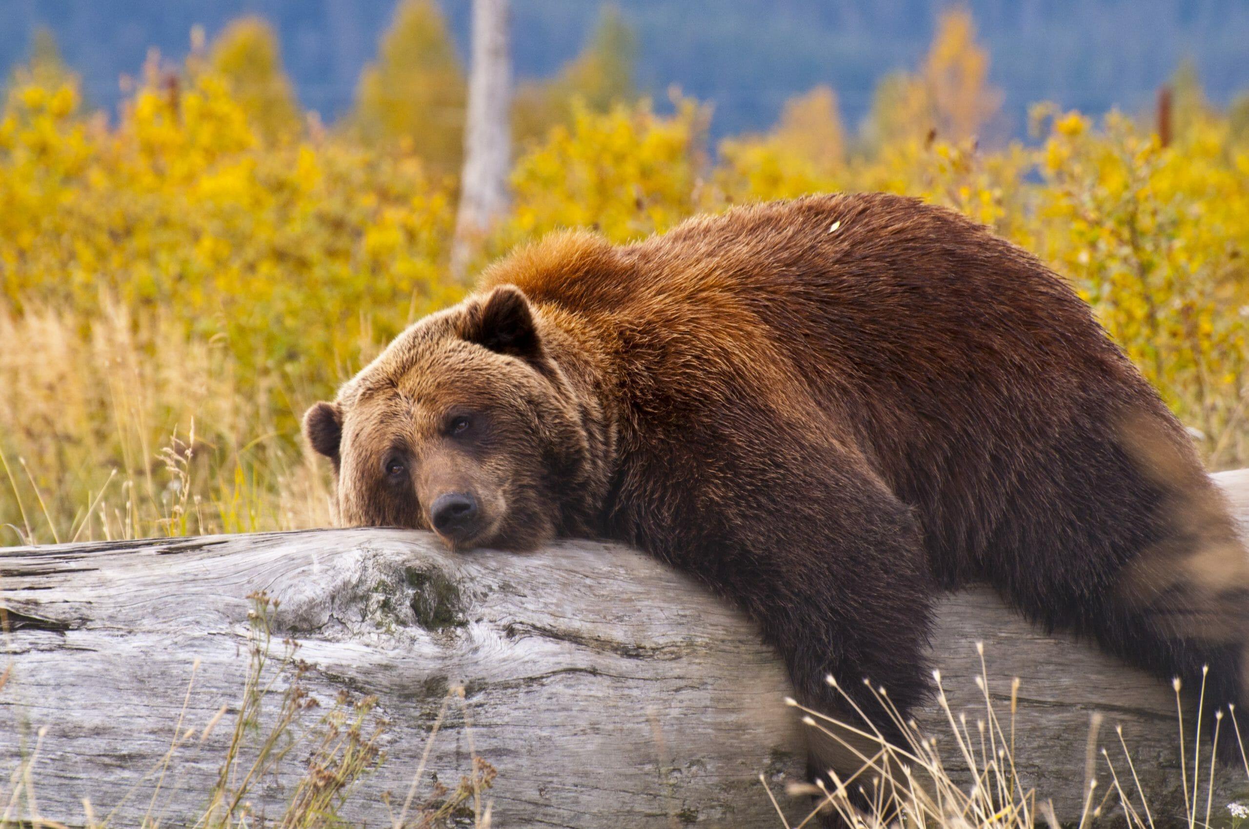 I fødekæden er du på samme niveau som en bjørn