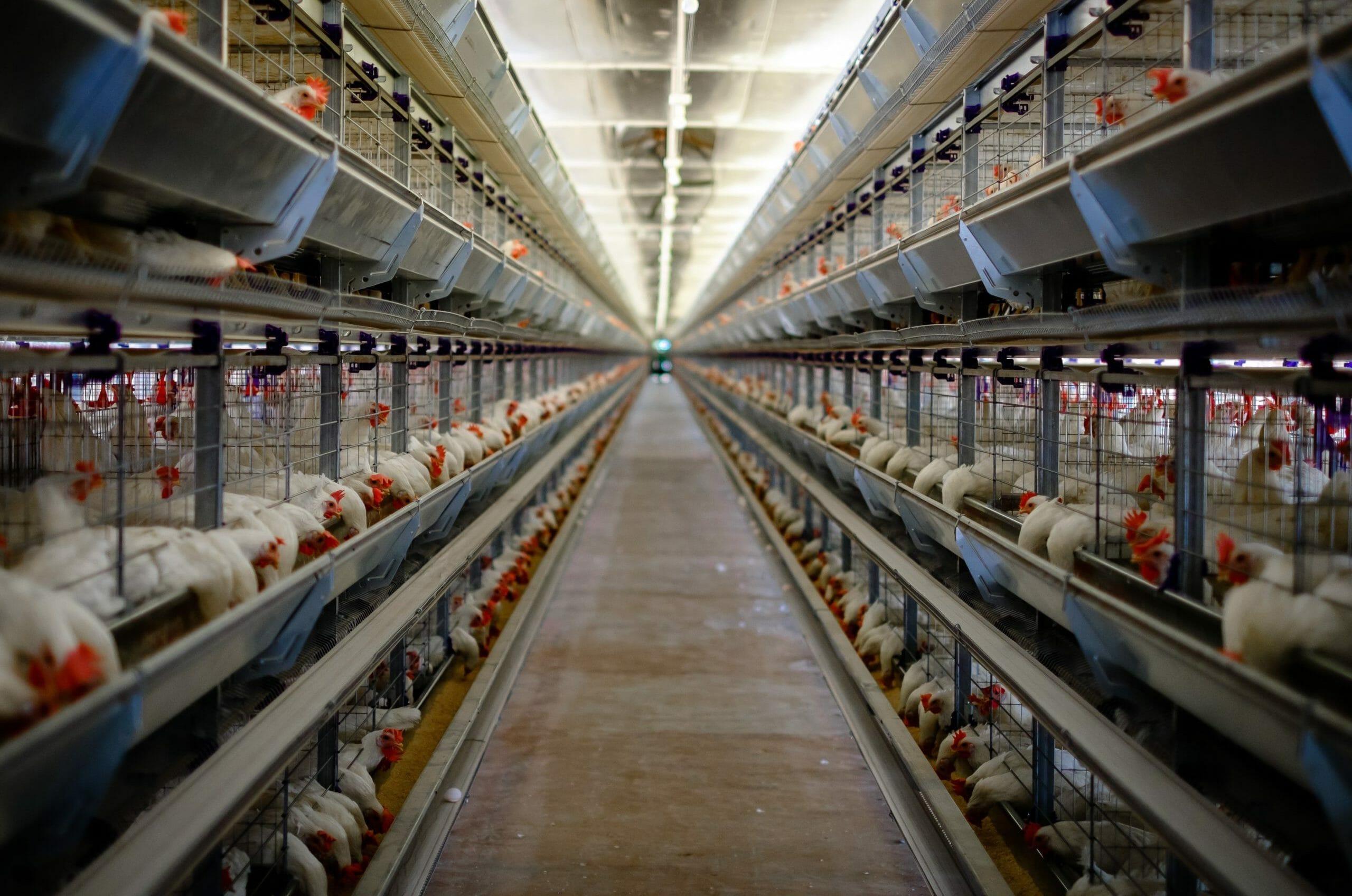 Halvanden million borgere presser EU: Forbyd dyr i bure